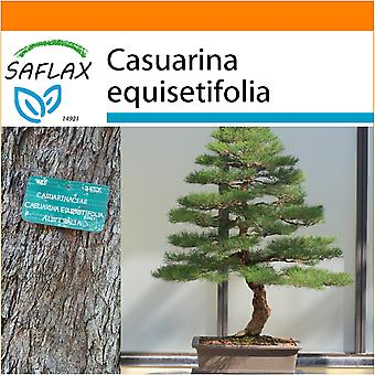 Saflax - Garden in the Bag - 200 seeds - Bonsai - Sea Ironwood - Filao - Casuarina comune - Pino australiano - B - Australische Strandkiefer