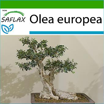 Saflax - 20 seeds - With soil - Bonsai - Common Olive - Olivier - Olivo - Olivo - B - Ölbaum