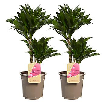 Dracaena deremensis Compacta Dragon tree - komplet 2 sztuk - Wysokość 60 cm - Garnek o średnicy 17 cm
