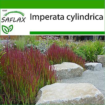 Saflax - 50 semi - con terreno - Cogongrass - Impérate cilindrico - Erba del sangue giapponese - Hierba sangrienta japonesa - Japanisches Blutgras