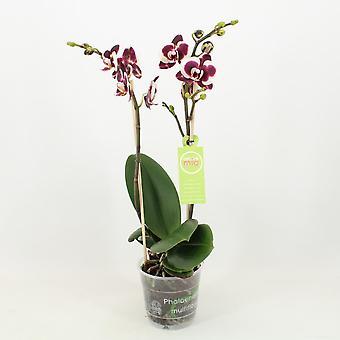 Orchidée – Orchidée papillon – Hauteur: 45 cm, 1 pousse