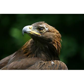 Golden Eagles Face (Aquila Chrysaetos) PosterPrint