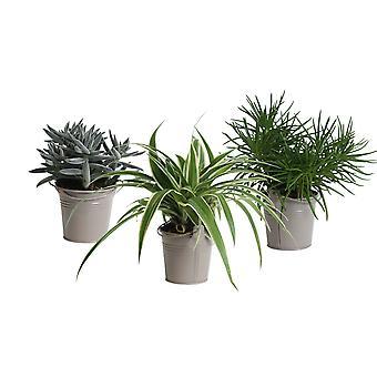 Plantes d'intérieur – 3 × Amazone Mix en pot de fleur brun comme un ensemble – Hauteur: 15 cm