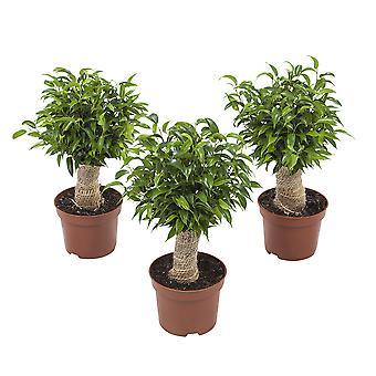 Ficus Natasja set van 3 stuks - Hoogte 35 cm - Diameter pot 12 cm