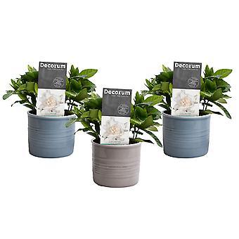 Flores de Botânica – 3 × Gardênia jasminoides – Altura: 15 cm