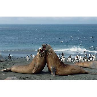 Southern Elephant Seal males fighting Macquarie Island Poster Print by Konrad Wothe