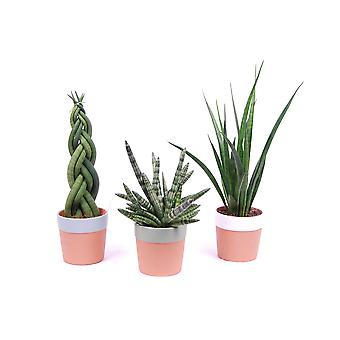 Trees from Botanicly – 3 × Snakeplant – Height: 35 cm – Sansevieria