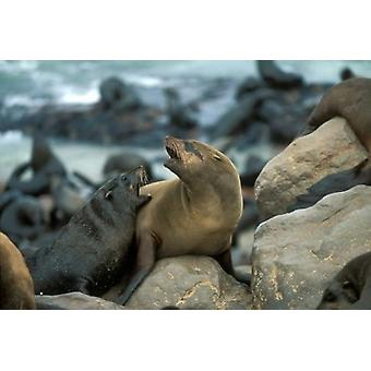 Namibia Cape Cross Seal Reserve Two Fur Seals on rocks Poster Print by Paul Souders