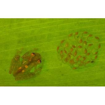 Glass Frosch mit Ei-Kupplung und Kaulquappen unter Blatt Choco Regenwald Ecuadors Poster Print von Pete Oxford
