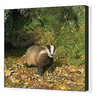 Badger (Meles Meles), Reino Unido, Europa. Impressão de lona da caixa. Badger (Meles Meles), United.