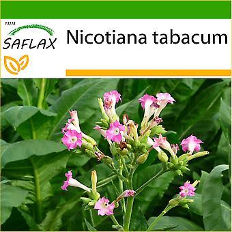 Saflax - nasiona 250 - z gleby - często wyrobów tytoniowych - Tabac - Pianta del tabacco - Virginia de Tabaco - ech Virginischer Tabak
