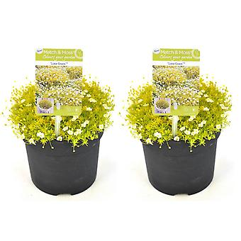 Grass from Botanicly – 2 × Sagina subulata Lime Green – Height: 5 cm, white flowers
