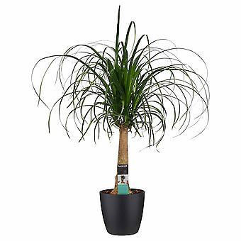 Décorum Beaucarnea Straight avec Elho bruxelles noir - Hauteur 70 - Pot de diamètre 27,5