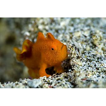 A tiny orange frogfish Anilao Philippines Poster Print by Bruce ShaferStocktrek Images