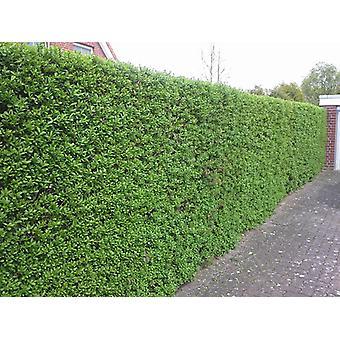 Black-green liguster 30 pieces 60-100 cm height for 7 m hedge Ligustrum vulgare atrovirens