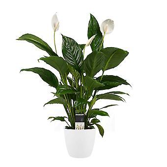 Zimmerpflanze – Einblatt in weißem Übertopf als Set – Höhe: 60 cm