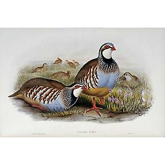 Red Legged Partridges Poster Print by  John Glover