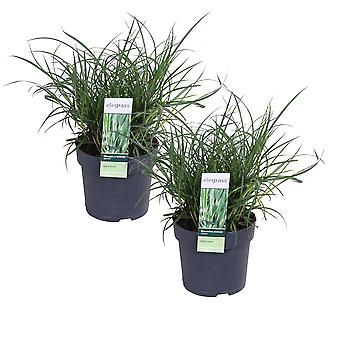 Elegrass - Ornamental grass - Porcupine Grass - Miscanthus 'Strictus' - set of 2 pieces