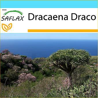 Saflax - Geschenk-Set - 5 Samen - Drachenbaum - Dragonnier des Kanaren - Albero del Drago - Drago de Canarias - Drachenbaum