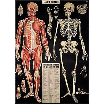Cavallini L'Anatomie Wrapping Paper Poster