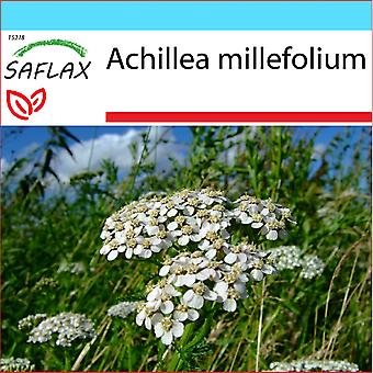 Saflax - regalo Set - 200 semi - millefoglio - Achillée millefoglie - Achillea millefoglie - Milenrama - Achillea