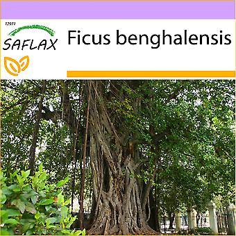 Saflax - 20 graines - Indian Banyan Tree - Figuier des banians - Baniano - Higuera de Bengala - Bengalische Würgefeige
