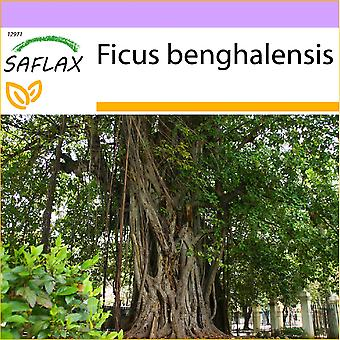Saflax - 20 seeds - Indian Banyan Tree - Figuier des banians - Baniano - Higuera de Bengala - Bengalische Würgefeige
