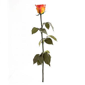 Konserverad rosorange med stamslitstark 3 år 45-50 cm