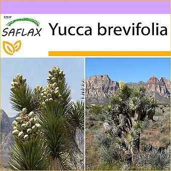 Saflax - 10 frø - Joshua Tree - Arbre de Josué - Albero di Giosuè - Árbol de Josué - Joshua Tree