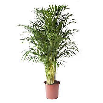 Pianta d'appartamento da Botanicly – Palma Areca – Altezza: 100 cm – Areca dypsis lutescens