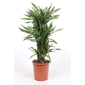 Zimmerpflanze von Botanicly – Drachenbaum – Höhe: 110 cm – Dracena fragans Riki