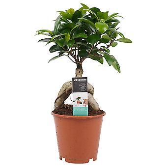 Pianta d'appartamento da Botanicly – Bonsai di fico – Altezza: 30 cm – Ficus Gin Seng