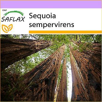 ספלקס-50-החוף רדווד-סקסוניה סמפרווינס-סקוויה מסמרוורדה-סקויה roja-קוסטן-ממסמובאום