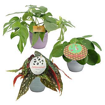 BOTANICLY Polka dot Begonia, Window leaf plant and Chinese money plant
