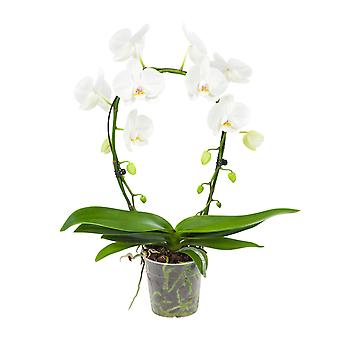 BOTANICLY Phalaenopsis Mirror Miracle - Butterfly orchid white