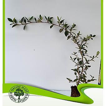 Cotoneaster lacteus (Milkflower Cotoneaster)-plant