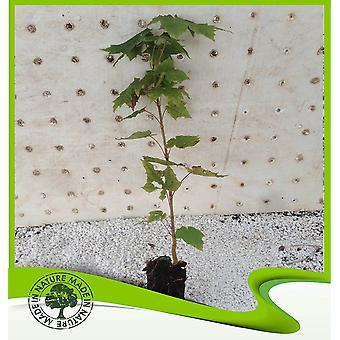 Acer esdoorn (Noorse esdoorn)-plant