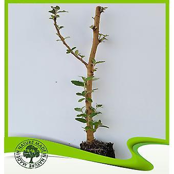 Populus alba (witte populier)-plant
