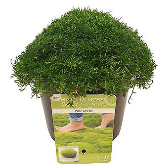 Grass from Botanicly – Sagina subulata Pine Green – Height: 5 cm