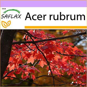 Saflax - 20 semillas - arce rojo - Erable rojo - Acero rosso - Arce rojo - Rotahorn