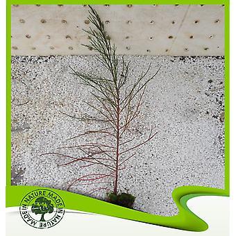 Casuarina equisetifolia (Australische dennenboom)-plant