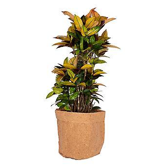 Kamerplant – Croton met een kurk pot als set – Hoogte: 100 cm