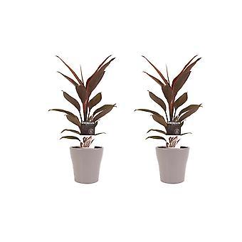 Kamerplanten – 2 × Cordyline Fruticosa Tango incl. taupe sierpot als set – Hoogte: 40 cm
