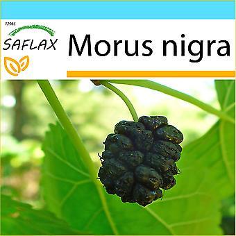 Saflax - regalo conjunto - 200 semillas - negro Mora - Mûrier noir - Gelso nero - Mora negra - Schwarzer Maulbeerbaum
