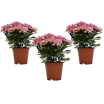 Bloemen van Botanicly – 3 × ChrysanthemumChrysanneMargarita – Hoogte: 25 cm