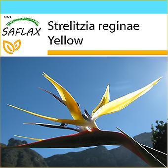 Saflax - Geschenk-Set - 4 Samen - gelbe Strelitzia Mandela Gold - Oiseau de Paradis Jaune - Craigs Gold - Strelitzia Gialla - Ave del Paraíso - Gelbe Strelitzie - Craigs Gold