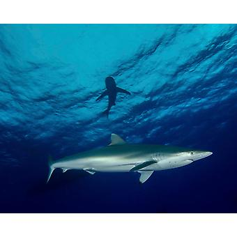 A silky shark at Cat Island in the Bahamas Poster Print by Brent BarnesStocktrek Images