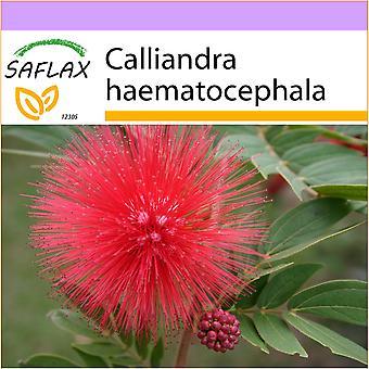 ספלקס-10 זרעים-בצבע ורוד אבקת עלים-Arbre האלה-קלינדרה-וארבוסטו דה לה לאמה. -מדהים