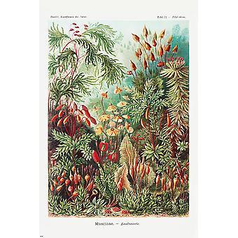 Laubmoose Juliste Ernst Haeckel Kunstformen der Natur,panel 72 Polytrichum, Muscinae 91,5 x 61 cm
