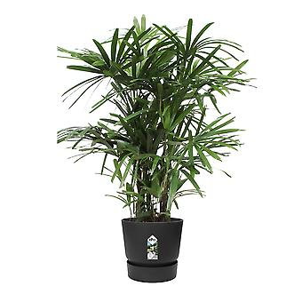 Choice of Green - Rhapis excelsa - Palm tree